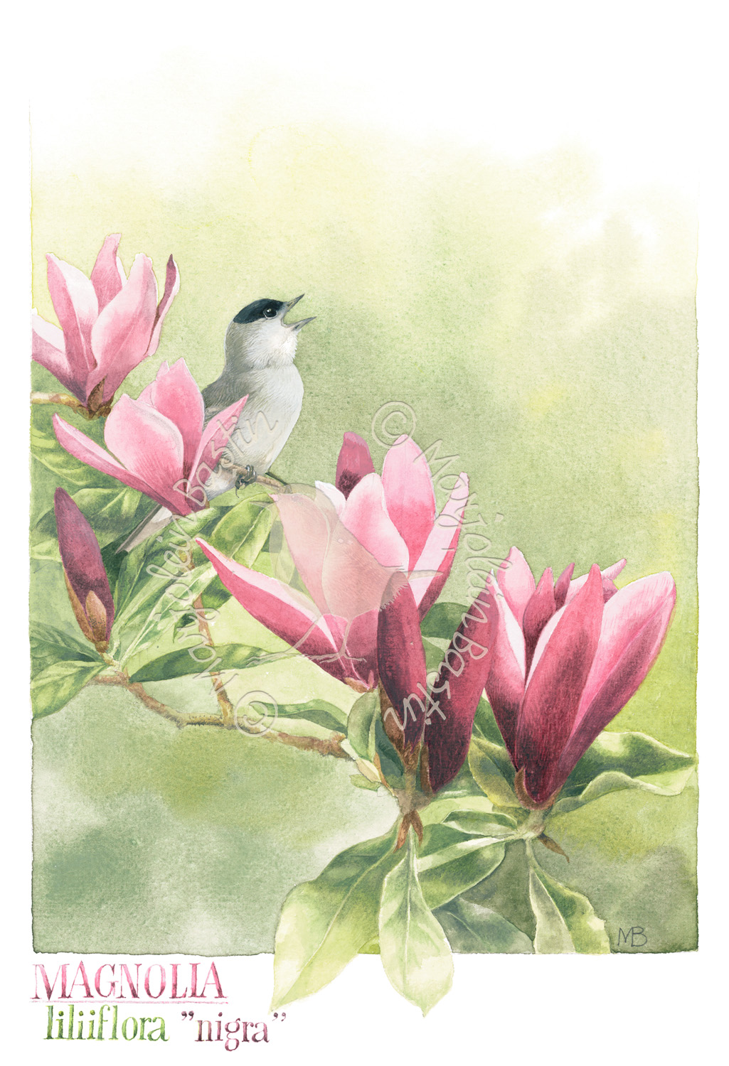 Eurasian Blackcap's Song